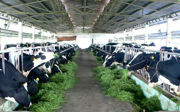 Kết quả hình ảnh cho nuôi bò sữa